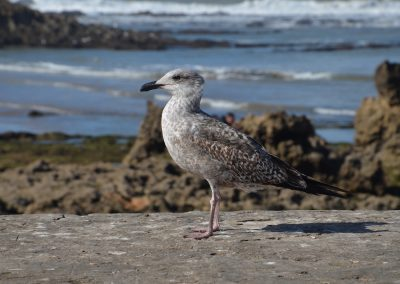 Vogel in Essaouira